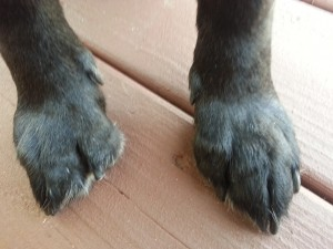 dog paws with long claws on deck