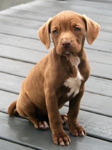 brown and white short haired puppy on green wood deck